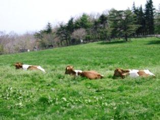 ♪ガーンジィ牛♪