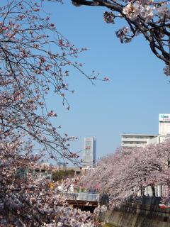 20120408sakura09.jpg