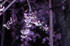 和歌山城 夜桜