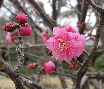紅葉山庭園梅景観-5