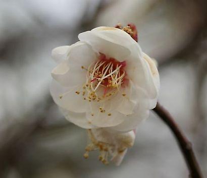 紅葉山庭園梅景観-6