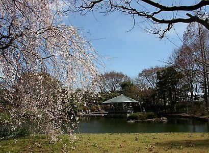 城北公園の桜-1