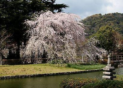 城北公園の桜-2