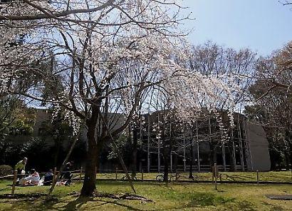 城北公園の桜-4