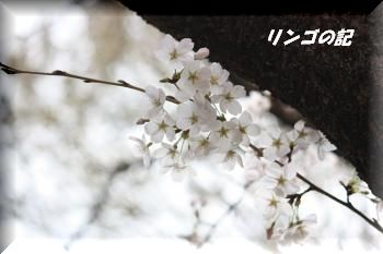 さくら2011①