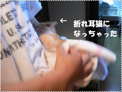 P1000692(折れ耳猫