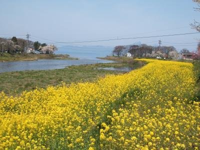 舟江の菜の花1