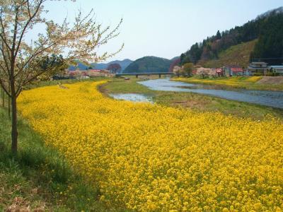 舟津の菜の花2