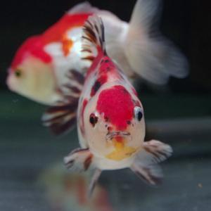 キャリコセルフィン01