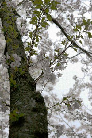 2009sakura2.jpg