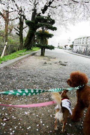 2009sakura9.jpg