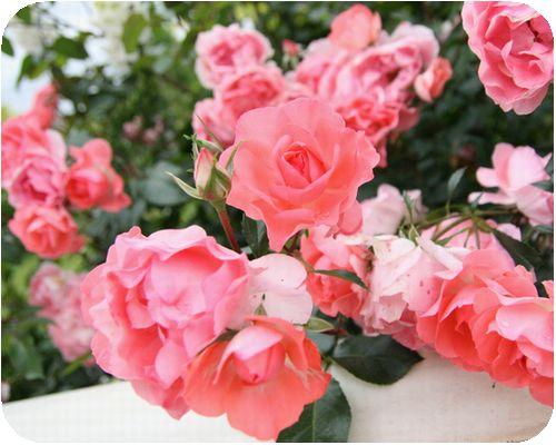 roseIMG_5681.jpg