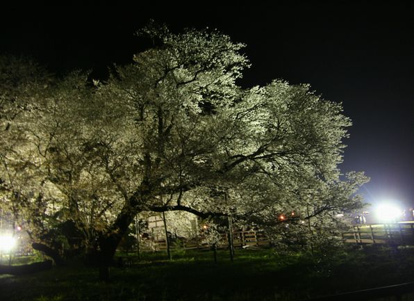 sakura_night1.jpg