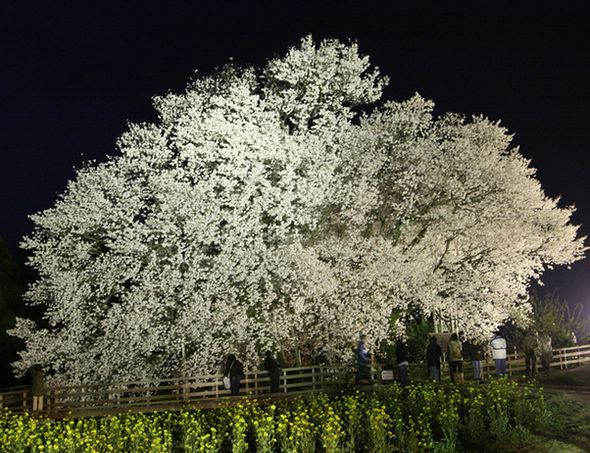sakura_night12.jpg