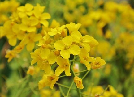 IMG菜の花p1