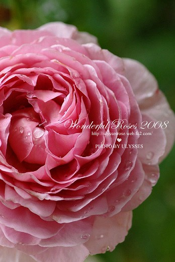 Wonderful Roses 2008 ・スライドショー