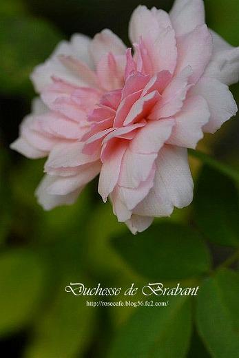 Duchesse de Brabant ** Tea ;01