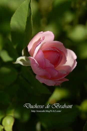 Duchesse de Brabant ** Tea