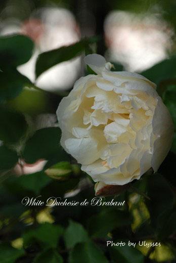 White Duchesse de Brabant ** Tea