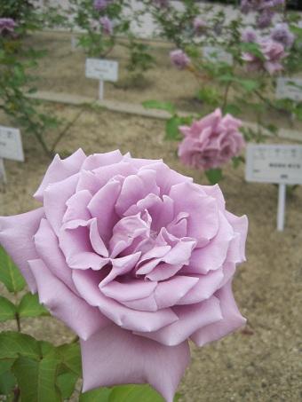 2011福山藤娘