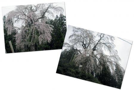 20110525しだれ桜