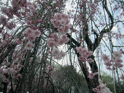 20110530桜アップ