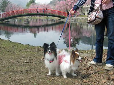 20110530ピョンテンと桜-1