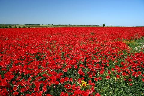 赤い花畑(プラセンシア~トレド間)