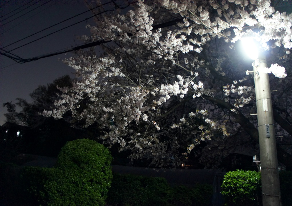 DSC03804-sakura.jpg