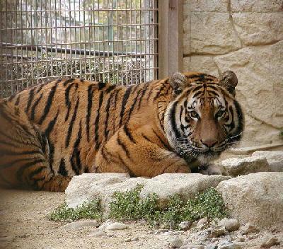 tiger017_985758786343.jpg