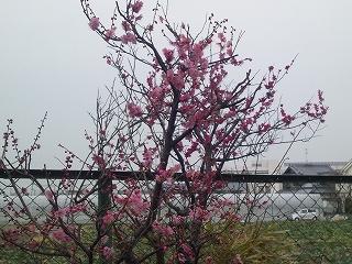 梅の花引き