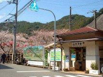 山中渓駅の桜