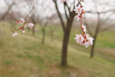 城北桜づつみ公園の桜