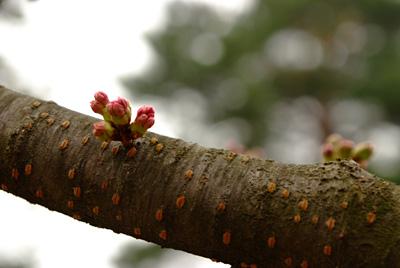 弘前公園西濠の桜のつぼみ
