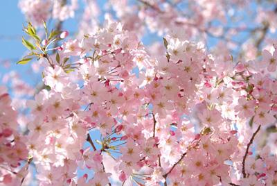 ピンクの桜