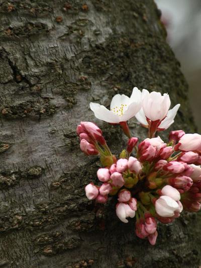 ソメイヨシノ開花した弘前公園2009