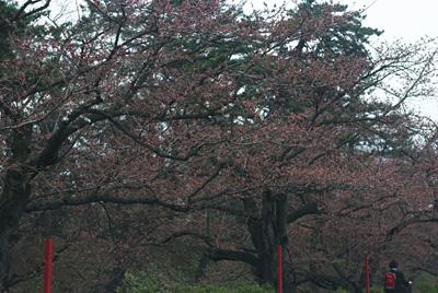 弘前の桜~2009年4月14日