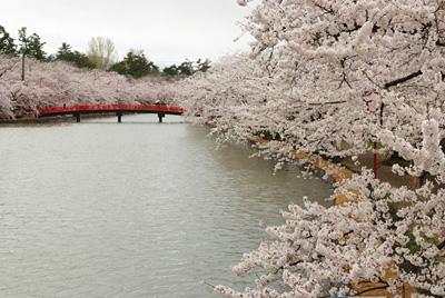 桜のトンネル 西堀