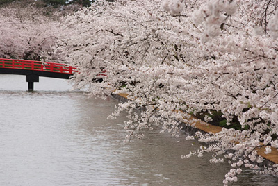 桜のトンネル 西濠