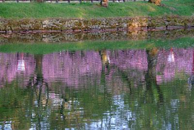 水面にうつる桜
