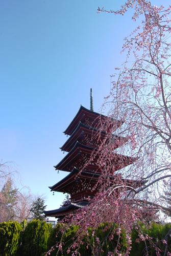 弘前の桜と五重塔