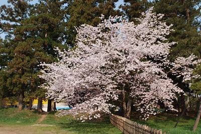 弘前公園の中で一番満開のソメイヨシノ