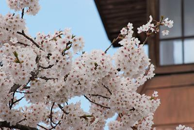 桜と紺屋町屯所