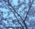 目黒川桜まつり桜写真