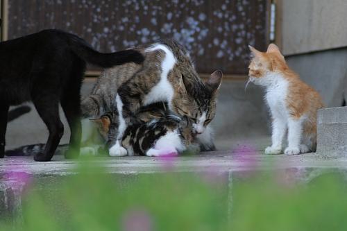 子猫ちゃんは母猫のお腹の下にもぐった!猫がいっぱいいる家の子だった。