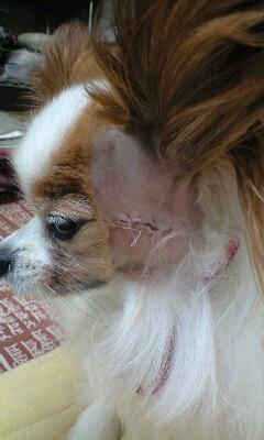 顔面手術後のサリー・・・別に悪い世界に足を踏み入れたわけではありません。ブラックジャックのものまねでもありません。