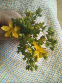 セントジョンズワート花