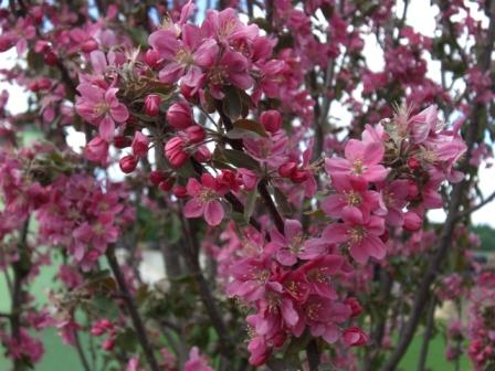 barelina flower