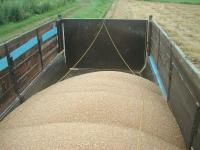 大型ダンプに積み込まれた小麦、、2タンク分で満載になります