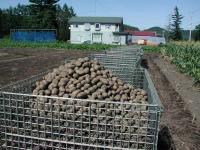 芋の大コン 1.5トンほど入ります